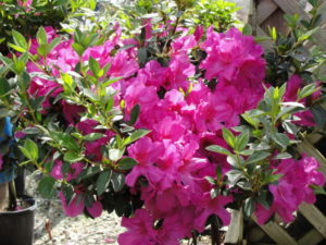 Fall is a perfect time to plant Azaleas!